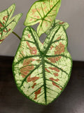 Gardens by the Bay - Plant Collection - Foliage Plants - Caladium Hybrid in Geometric Patterned Pot B_2