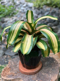 Gardens by the Bay - The Mini Garden Series - Foliage Collection - Neoregelia in black ceramic pot