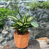 Gardens by the Bay - Father's Day Collection - Neoregelia in wood patterned ceramic pot - Cropped