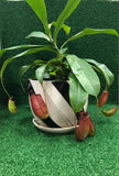 Gardens by the Bay - Nepenthes Glassball Collectiion - Potted Adult Nepenthes