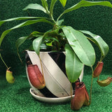 Gardens by the Bay - Nepenthes Glassball Collectiion - Potted Adult Nepenthes-Cropped