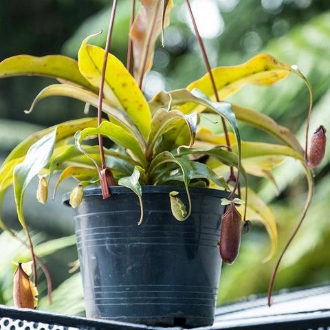 Gardens by the Bay - NEPENTHES COLLECTION - POTTED ADULT NEPENTHES