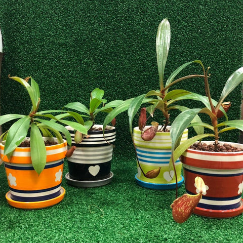 Gardens by the Bay - Potted Baby Nepenthes - Cropped