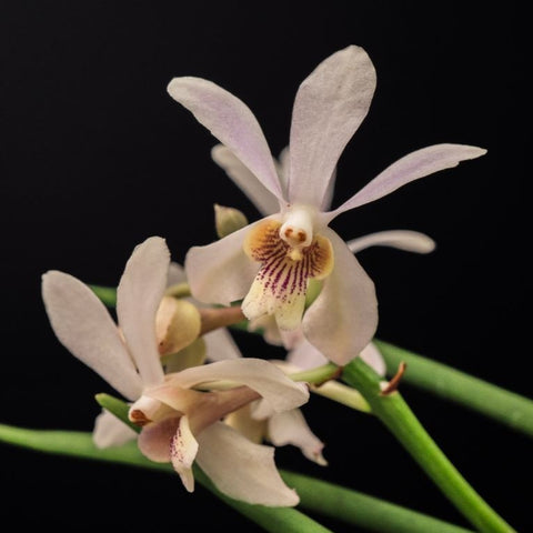 Gardens by the Bay - Plant Collection - Flight of the Moth Orchid - Papilionanda Memoria Anri Bracker (Limited Edition)