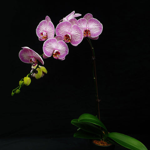 Gardens by the Bay - Flight of the Moth Orchid - Phalaenopsis I-Hsin Beth