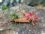 Gardens by the Bay - Plant Collection - The Mini Gardens Series - Driftwood Tillandsia SP2