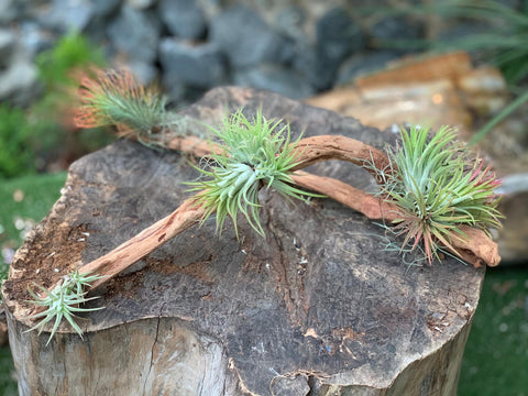 Gardens by the Bay - Plant Collection - The Mini Gardens Series - Driftwood Tillandsia SP4