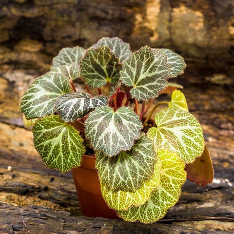 Gardens by the Bay - Gardens Plant Collection - Strawberry Begonia