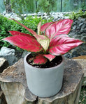 Gardens by the Bay - The Mini Garden Series - Aglaonema in grey matte pot