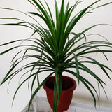 Gardens by the Bay - Plant Collection - Foliage Plants - Gfp Dracaena draco in plastic pot
