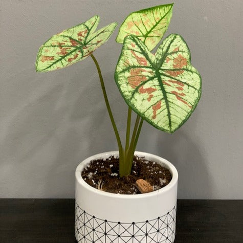 Gardens by the Bay - Plant Collection - Foliage Plants - Caladium Hybrid in Geometric Patterned Pot B