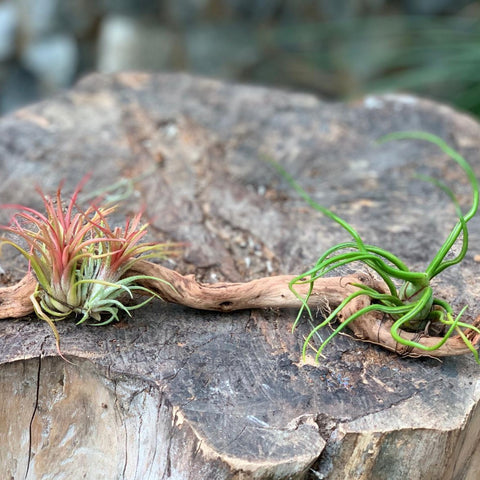 Gardens by the Bay - Plant Collection - The Mini Gardens Series - Driftwood Tillandsia SP5