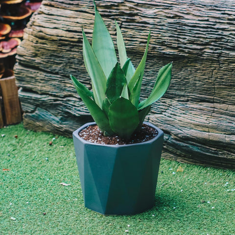 Gardens by the Bay - Plant Collection - The Mini Garden Series - Dracaena 'Moonglow' in grey geometric pot