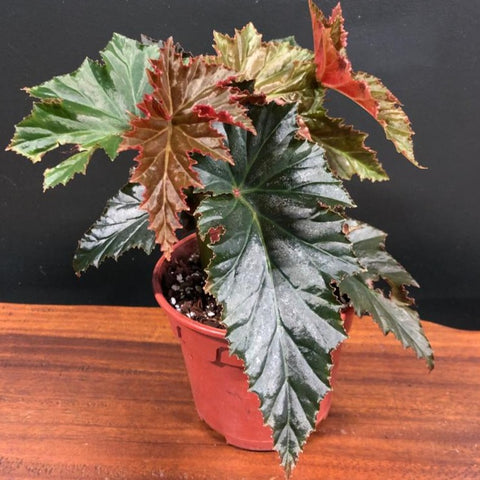 Gardens by the Bay - The Mini Garden Series - Begonia 'Irene Nuss' - Cropped
