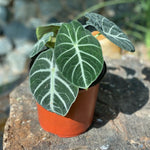 Gardens by the Bay - Plant Collection - The Mini Garden Series - Alocasia 'Black Velvet' in plastic pot