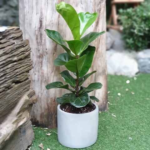 Gardens by the Bay - The Mini Garden Series - Father's Day Collection -Ficus lyrata in white matte pot