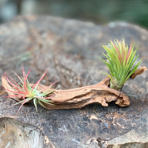 Gardens by the Bay - Plant Collection - The Mini Gardens Series - Driftwood Tillandsia M13