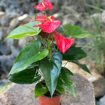 Gardens by the Bay - Plant Collection - The Mini Garden Series - Anthurium andraeanum in plastic pot