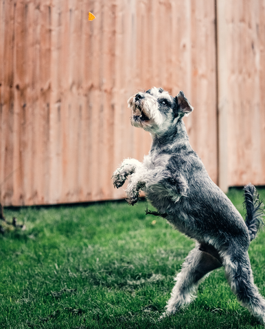 Dog catching treat in mid-air