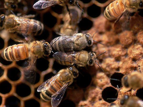 Honey Bees in the Hive making Propolis