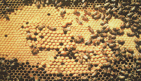 Healthy Brood Pattern