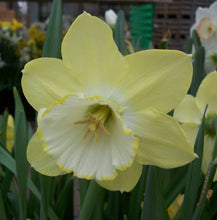 Load image into Gallery viewer, Narcissi Binkie Carri-Pack  2kg DC63
