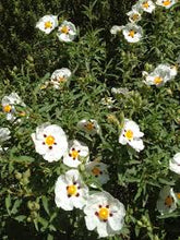 Load image into Gallery viewer, Cistus Alan Fradd
