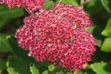 Load image into Gallery viewer, Sedum Autumn Joy
