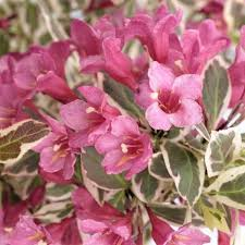 Weigela Monet