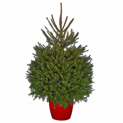 Norway Spruce-potted
