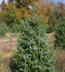 Serbian Spruce-potted