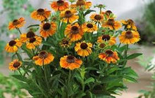 Load image into Gallery viewer, Helenium Short 'N' Sassy