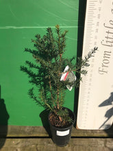 Load image into Gallery viewer, C Taxus baccata (Yew) 2L
