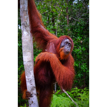 See Orangutans in Kalimantan <br> ( Group Tour )
