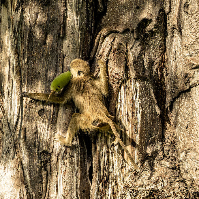Fine Art Print 'Monkey Business'