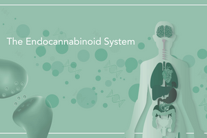 4 Things to Know About the Endocannabinoid System