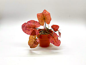 Red Tiger Lotus plant