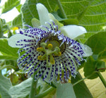 Passiflora actinia | Passion Flower | 20_Seeds