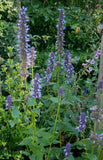 Agastache foeniculum | Anise Hyssop | Licorice Mint | 200_Seeds