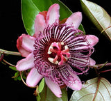 Passiflora ambigua | Mountain Granadilla | 5_Seeds