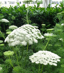Ammi visnaga Green Mist | False Queen Annes Lace | Toothpick Weed | 20_Seeds