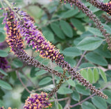 Amorpha canescens | Lead Plant | Prairie Shoestring | 200_Seeds