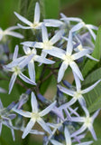 Amsonia illustris | Ozark Bluestar | Shining Blue Star | 10_Seeds
