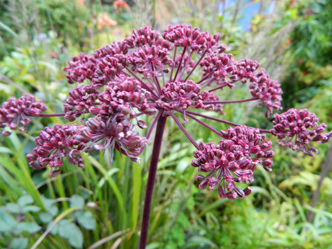 Angelica gigas | Giant Purple Korean Angelica | Dang Gui | 5_Seeds