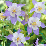 Aquilegia caerulea | Colorado Blue Columbine | 50_Seeds