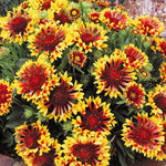 Gaillardia aristata Bremen | Indian Blanket Flower | 50_Seeds