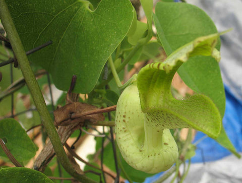 Aristolochia gilbertii | 20_Seeds