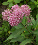 Asclepias incarnata | Rose Red Swamp Milkweed | Silkweed | 100_Seeds