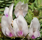 Astragalus crassicarpus | Ground Plum | Groundplum Milkvetch | 10_Seeds