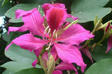 Bauhinia purpurea | Butterfly Orchid Tree | Camels Foot | 5_Seeds